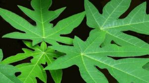 Health benefits of papaya leaf