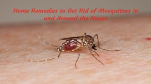 Worried due to terror of Mosquitoes? Then adopt these natural remedies…