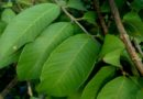 TOP 10 MEDICINAL USES OF GUAVA LEAVES