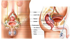 ALL YOU NEED TO KNOW ABOUT PROSTATE RELATED PROBLEMS